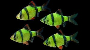 cá cảnh đẹp dễ nuôi-cá Tứ Vân