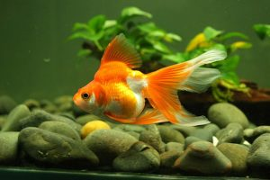 cá cảnh đẹp dễ nuôi-cá vàng