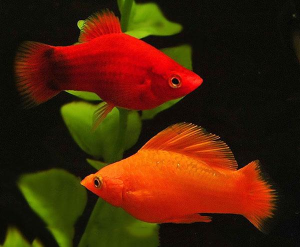 cá cảnh đẹp dễ nuôi - Cá Mún