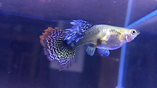 cá cảnh đẹp dễ nuôi - Cá Guppy