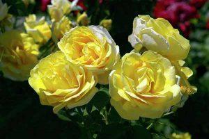 các loại hoa hồng - michelangelo