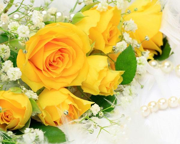 các loại hoa hồng - hồng vàng