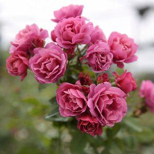 các loại hoa hồng - hoa sắc hồng
