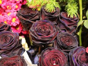 các loại hoa hồng - hoa hồng đen