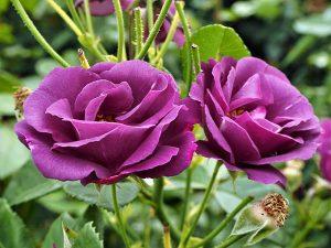 các loại hoa hồng - Rhapsody