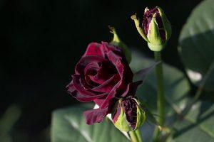 các loại hoa hồng - Baccara