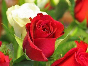 các loại hoa hồng - hồng đỏ